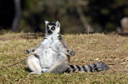 Yoga y animales. Un lemur practicando Sukhasana